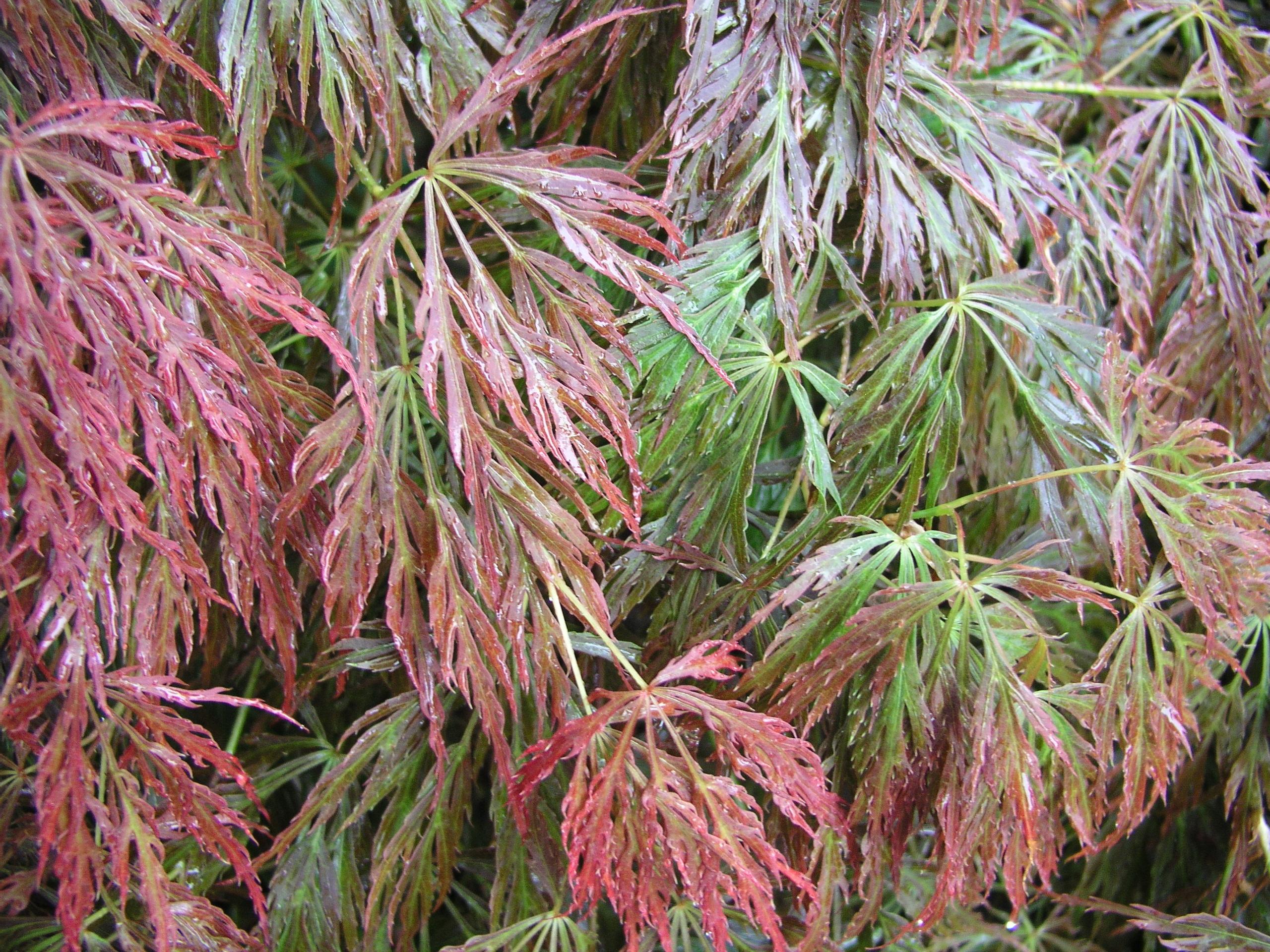 Japanese Maple Acer Palmatum Higasayama in 7cm Pot Beautiful Leaf Colour